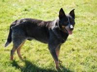 Australian Cattle Dog (Blue Heeler) - Zeus - Medium -