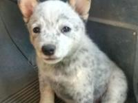 We have 1 beautiful baby Australian cattle dog pick of