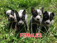 I have 8 gorgeous full blooded Blue Heeler puppies