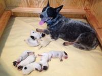 Australian Cattle Canine Puppies. Birthed 27 May 2014.