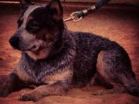 Australian Cattle Dog/Blue Heeler Puppies For Sale.