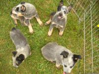 These puppies were born on March 19th, 2015 and are