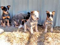 I have a litter of 6 Australian Cattle Dogs ready for