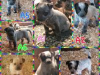 3 male Australian Cattle Dog Puppies available Oct.