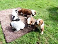 Heeler puppies 3 weeks old, will be ready a little