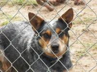 heeler puppies for sale (red females and blue boys and