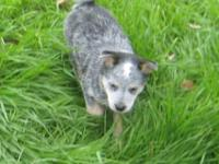 Australian Cattle Dog Puppy 12 Weeks Old~ Parents Are