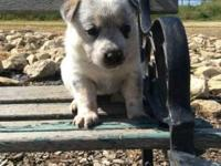 Blue heeler puppy, very sweet started on house