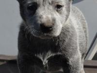 Trick female High Quality Australian Cattle Dogs. Call