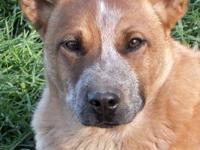 Ty is a stocky purebred red heeler, he is up to date on