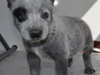 Trick Male High Quality Australian Cattle Dogs. Call