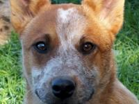 Tyke is a Beauitful Red Heeler, friendly smart