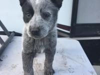 True Blue AKC reg ACD this pup wants to be buy your