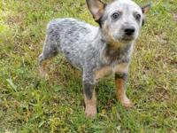 Miniature Australian Cattle Dog/Mini Heeler. Jackie is