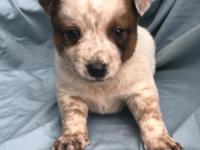 Male Australian cattle dog puppy comes with an AKC
