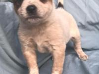 Female Australian cattle dog puppy comes with an AKC