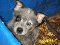 AKA: BLUE HEELERS ALL GIRLS , VERY WELL MARKED ,