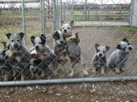 Litter of 10 Australian Cattle Dogs for sale. 5 males,