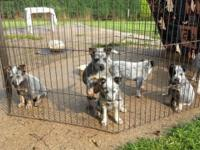 Australian Cattle Dogs - Blue Healer Puppies. Ladies.