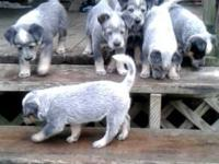 Dogs are 6 weeks old now & & will certainly be ready