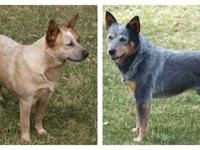 Beautiful blue and red cattle dogs raised in our home