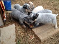 CKC Australian Cattle Dog Puppies. (Blue and Red