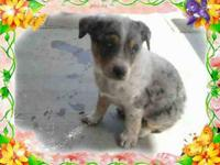 I am selling a Australian Cattle Puppy. He was born on