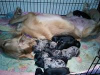 We have a wonderful litter of Australian Goldendoodle