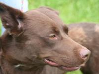 Australian Kelpie - Roo - Medium - Adult - Female -