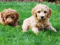 Springville Labradoodles in Silverton, Oregon has mini