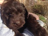 We have Adorable Cuddly teddy bear puppies available!