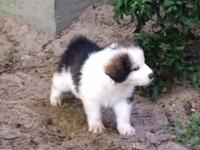These outstanding young puppies are a registered hybrid
