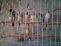 Have several Australian budgies. Ages from 4-9 months.
