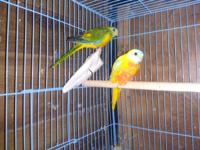 I have the following for sale: 1 - female green opaline