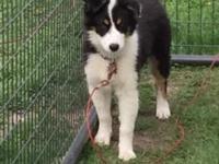 5 month old male Australian Shepard puppy. UTD on