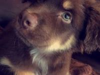 I am selling a two month old Australian Shepard, he has