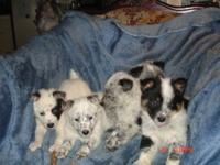 Puppies Born October 7 Australian shepard mixed with