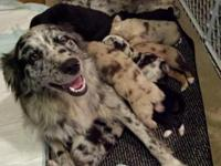 We have Australian Shepard Puppies for adoption. The