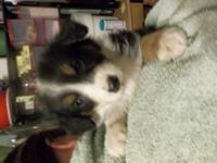 Pups available are Blue Merle, and tricolor, all