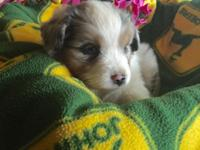 Australian Shepard puppies for sale. Great family dogs.
