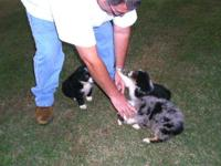 darling cute australian shepard puppys ....2 males and