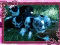 Hi I have 5 Australian shepherd females for sale, farm
