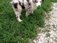 Australian Shepered PUPS FOR SALE TEXT 916