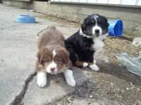 Australian Shepherd - 5 Females - Medium - Baby -