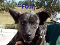 Australian Shepherd - Aldo - Small - Young - Male -