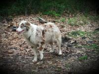 I have a female Aussie that I need to find home for