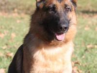 Australian Shepherd - Anna - Medium - Adult - Female -