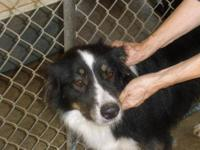 Australian Shepherd - Bear - Large - Adult - Male -