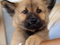 Australian Shepherd - Bethoven - Small - Baby - Male -
