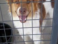 Australian Shepherd - Billy - Medium - Adult - Male -
